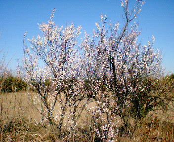 河川敷に咲いていた早咲きの桜