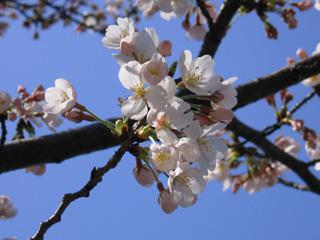 桜のアップ!!
