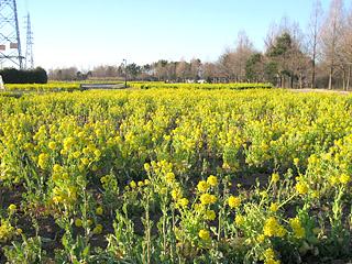 花の丘の菜の花