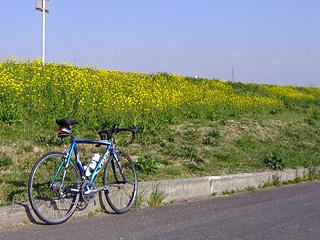 菜の花咲く荒川CR