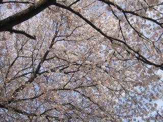 桜の木の下から見上げてみた