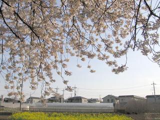 桜の木の中から見た風景