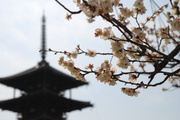 五重塔と梅の花