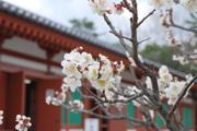 大講堂裏に咲く梅の花