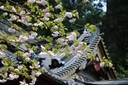 本殿と八重桜