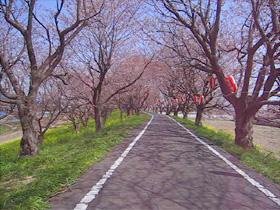 五分咲きの桜堤