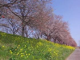 桜堤の桜と菜の花