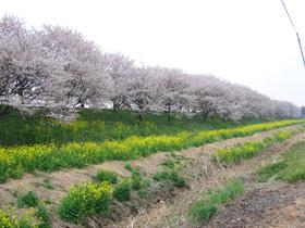 満開の桜堤