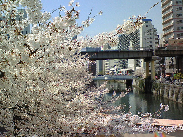 目黒川(五反田付近)の桜